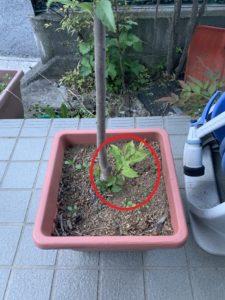 台木からの芽